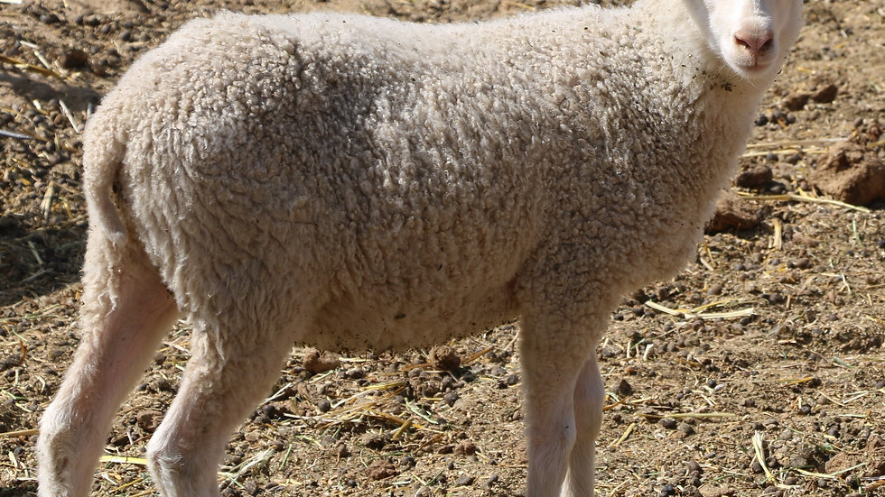 3L 21-849 Twin white ram. Dam: 16-752. Sire: Lucky One