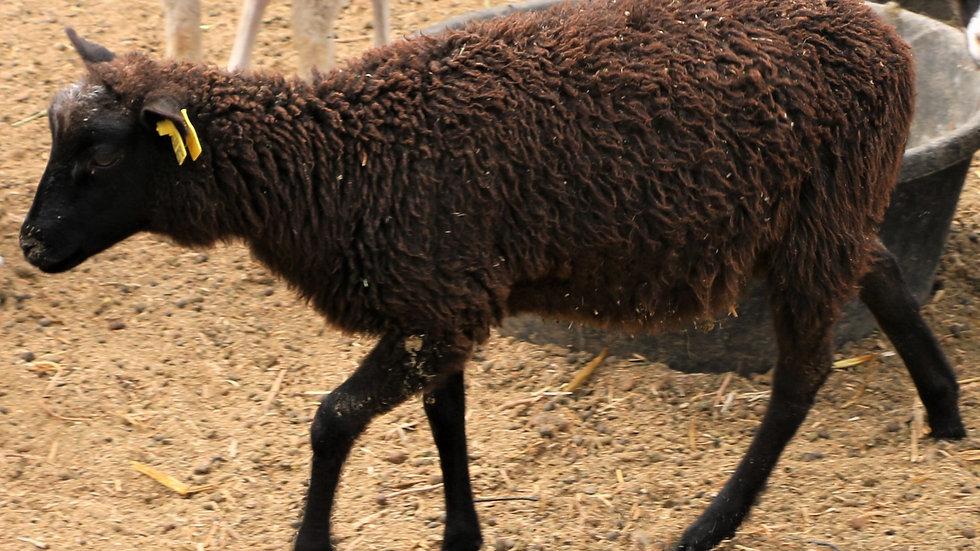 3L 20-718 twin black ewe. Dam: 19-449 QR. Sire: Octavius