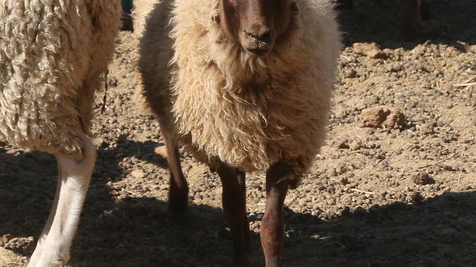 3L 21-845 Quad Brown ewe. Dam: 18-155. Sire: Phantom