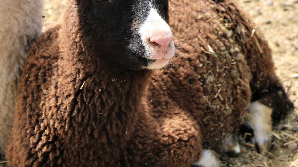 3L 18-157 Triplet Black Ram Lamb. Dam: 10-122. Sire: Magnum