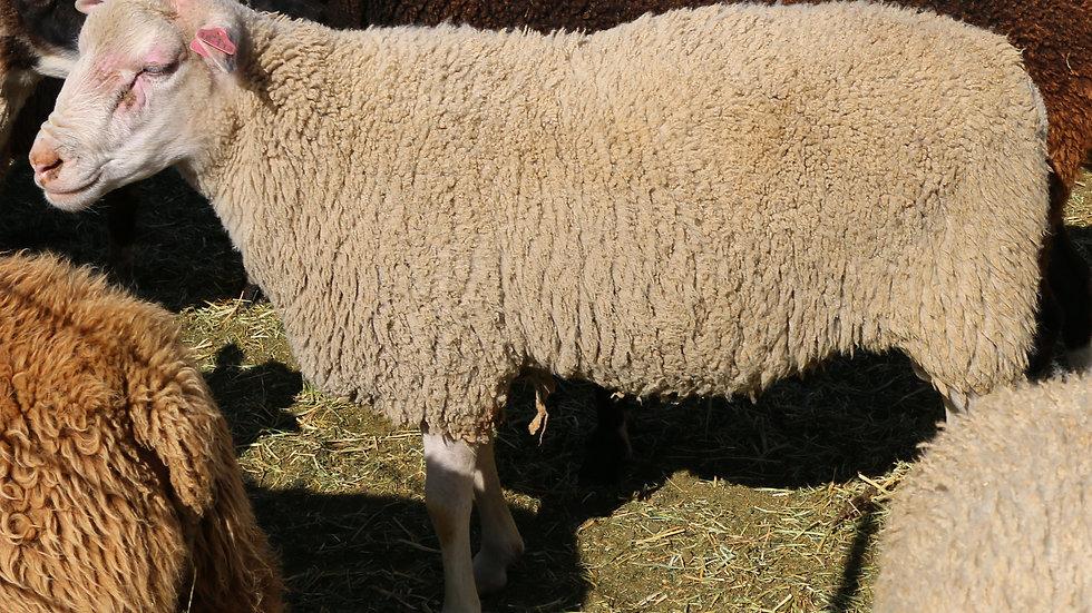 Thor RR. Triplet white ram. 3L 18-113