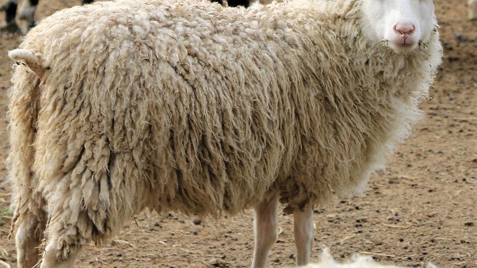 3L 20-588 Triplet white ewe. Single by King Arthur QR