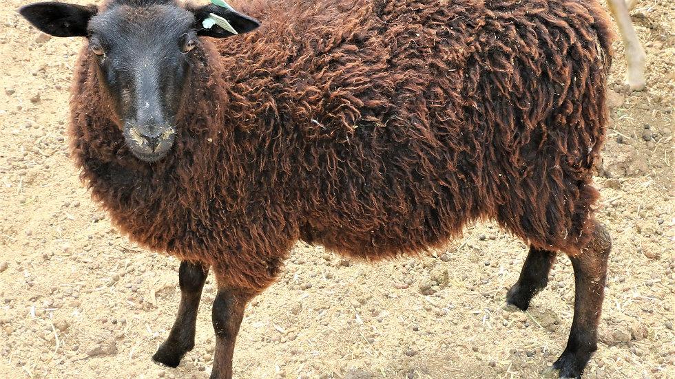3L 19-441 QR Triplet Black Ewe. Dam: 18-232. Sire: Panther RR