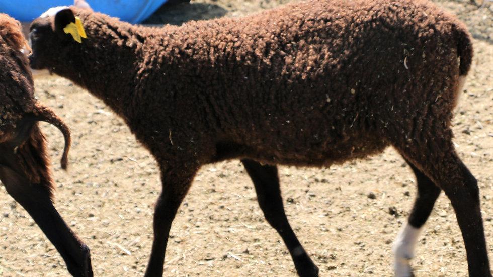 3L 20-603 Single black ram. Dam: 7-53. Sire: Octavius