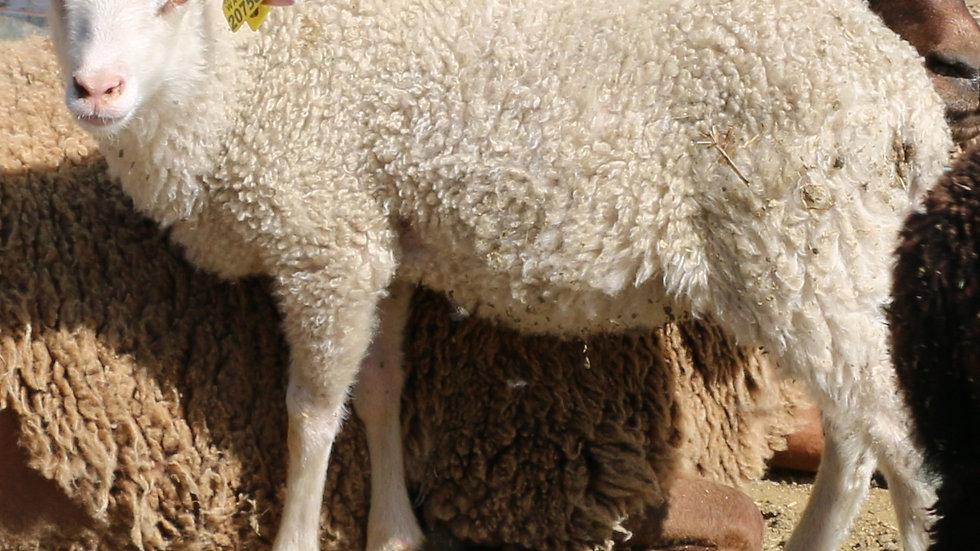 3L 20-758 Twin white ewe. Dam: 19-349 QR. Sire: Octavius