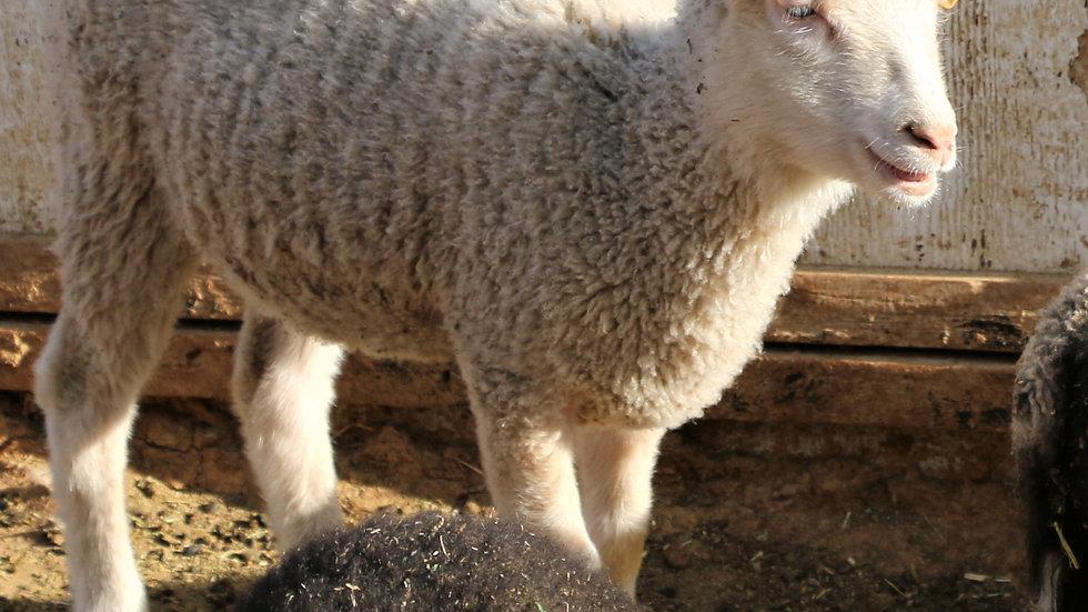 3L 21-872 Quad white Ewe. Dam: 12-095. Sire: Big Papa QR