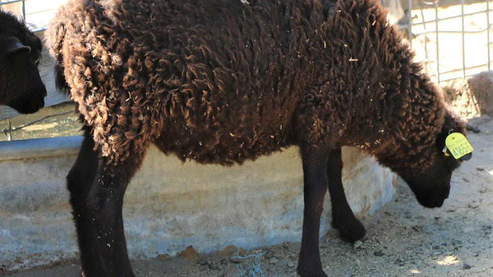 3L 19-467 Twin Black Ewe.  Dam: 18-142 QR. Sire: Big Papa QR