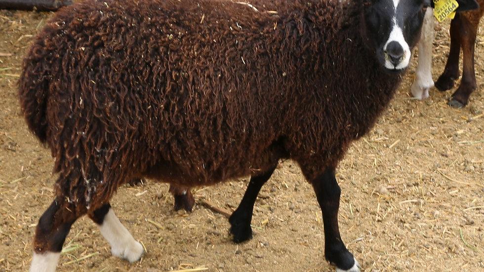 3L 20-564 QR Twin Black Ewe.  dam: 18-093 QR. Sire: Big Papa QR