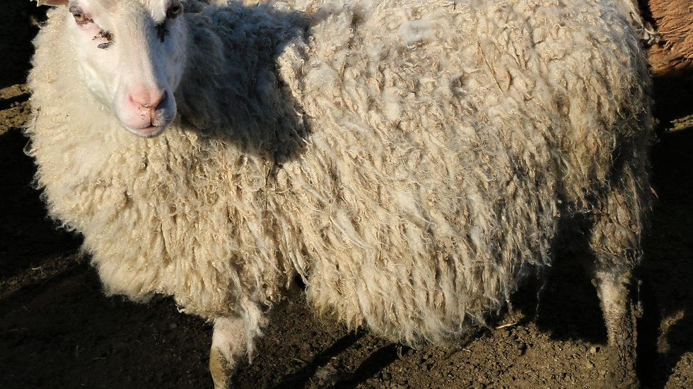 3L 13-291 Showgirl. White Triplet.  257% lifetime lambing. Bred to Octavius.