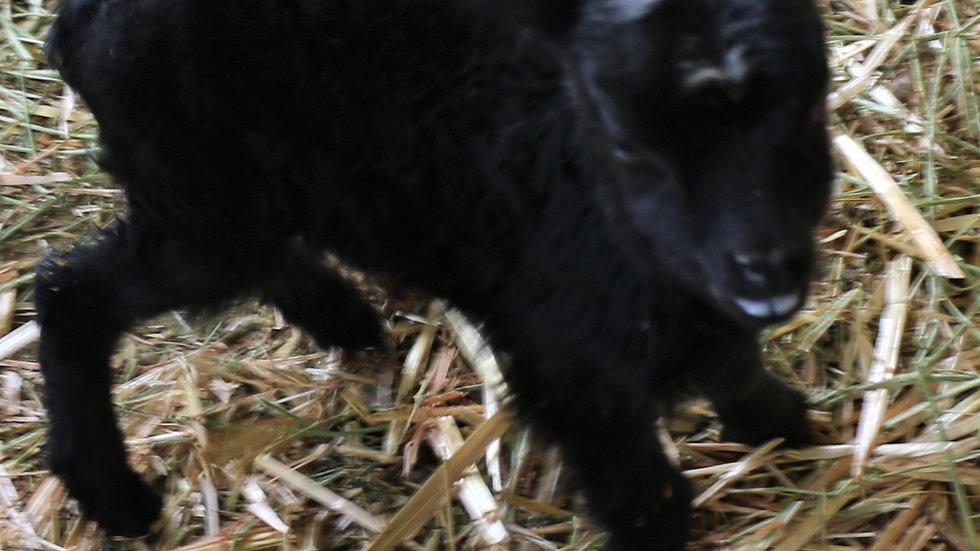 3L 21-831 Quad black ewe. Dam: 19-343 RR. Sire: Shadow QR