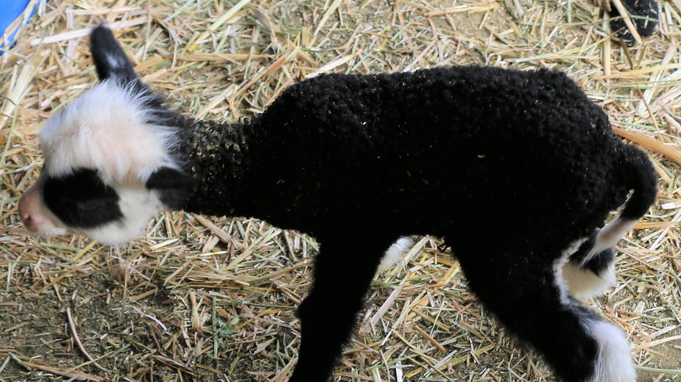 3L 20-731 Triplet black ewe. Dam: 12-043. Sire: Agent 007