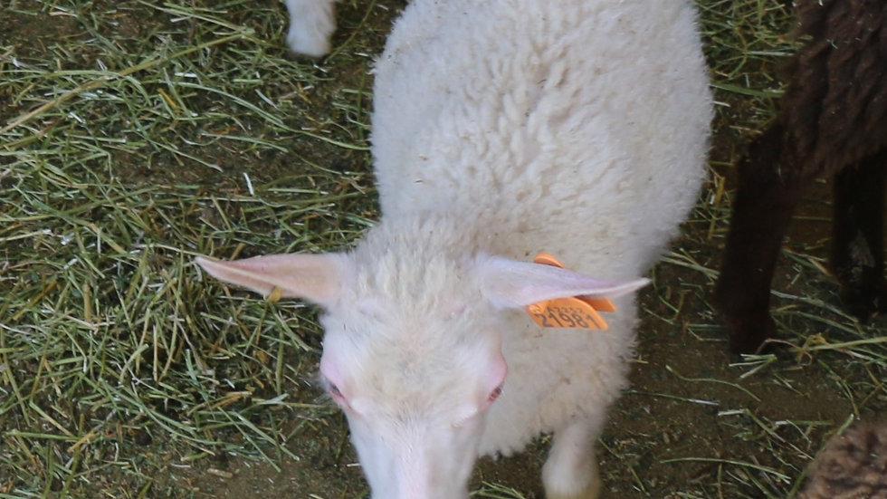 3L 21-981 Triplet White ewe. Dam: 19-312 QR. Sire: Lucky One
