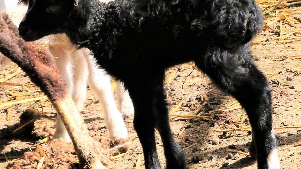3L 20-593 Triplet Black Ewe. Dam: 12-095. Sire: Big Papa QR