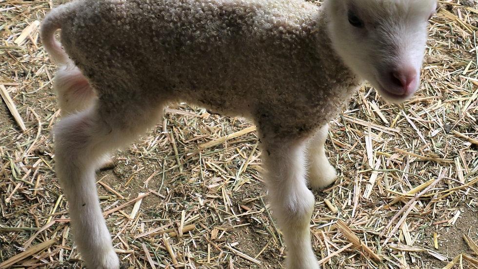 3L 20-760 Twin ewe lamb. Dam: 18-206. Sire: Thor RR