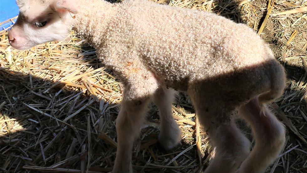 3L 20-707 Quad white ewe. Dam: 15-521. Sire: Thor RR