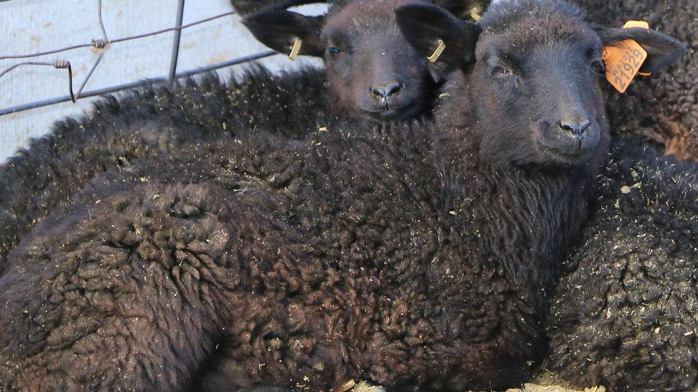 3L 21-929 Quad black ewe. Dam: 18-149. Sire: Phantom