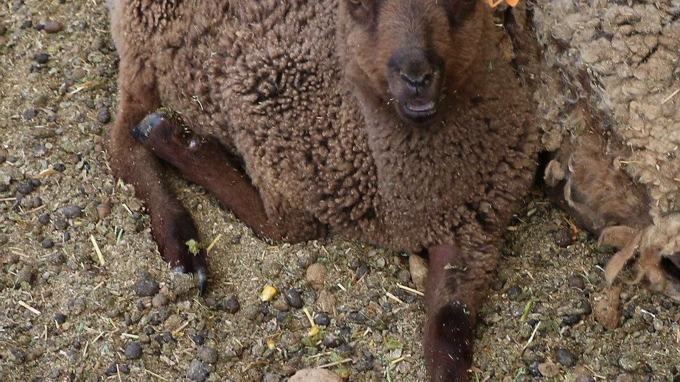 3L 21-962 Quad brown ewe. Dam: 14-365. Sire: Kyrian