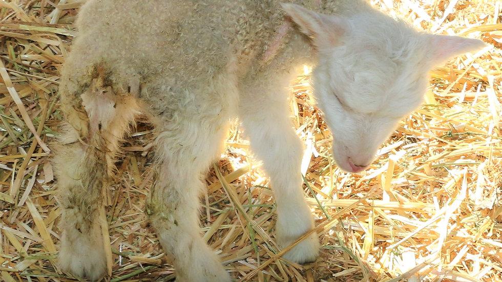 3L 21-905 QR Triplet White ewe. Dam: 21-17-036 QR. Sire: Thor RR