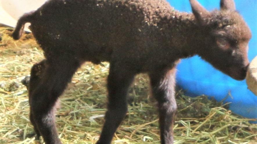 3L 21-808 Quad brown ewe. Dam: 18-232. Sire: Black Panther RR