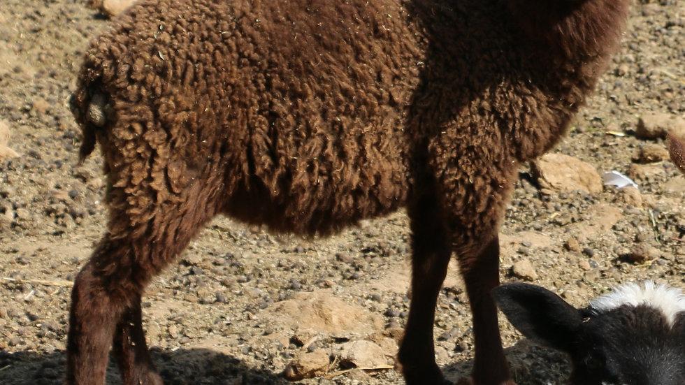 3L 21-975 Twin brown ewe. Dam: 19-390 RR.  Sire: Beretta QR