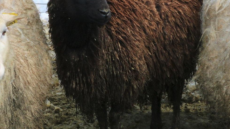 3L 20-657 RR Twin black ewe. Single by Wolverine QR