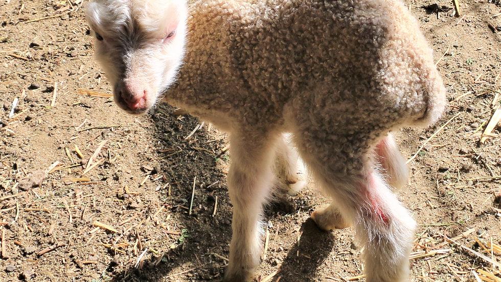 3L 20-562  QR Twin white ewe. Dam: 18-138 QR  sire: Adam QR