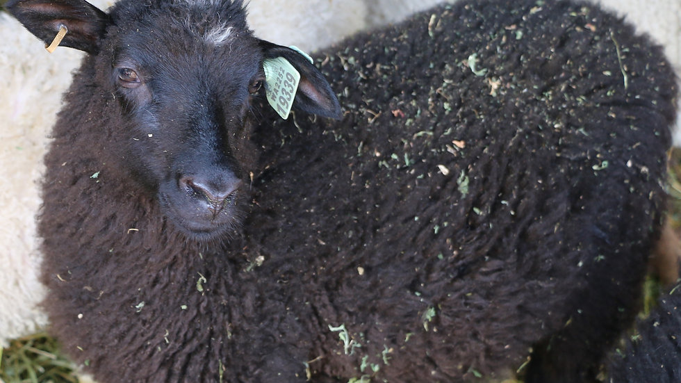 3L 19-339 Triplet Black ewe. Dam: 12-095. Sire: Magnum