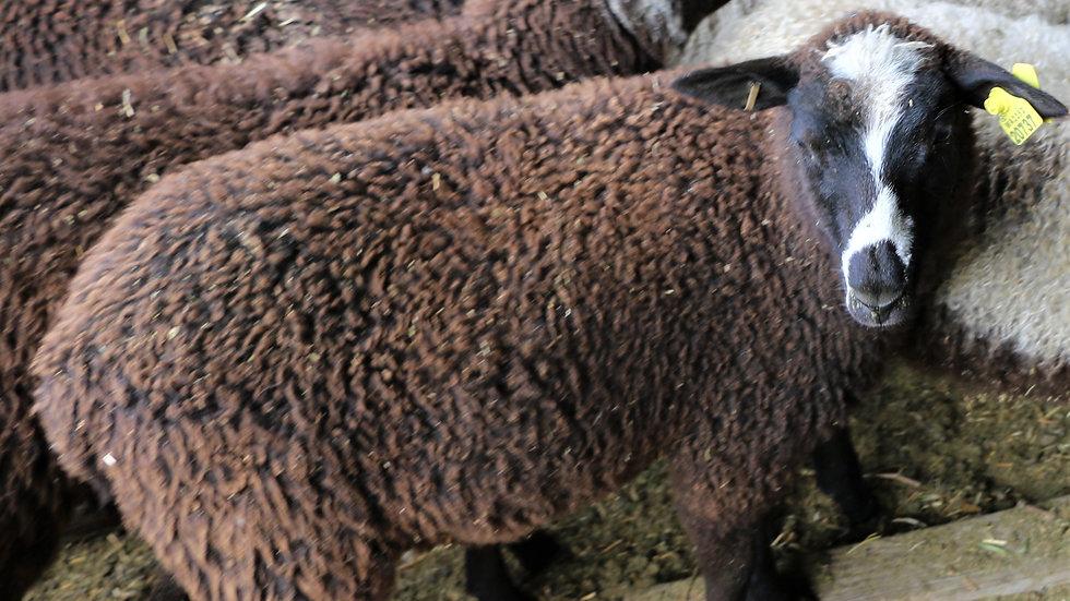 3L 20-737 Quad black ewe. Dam: 14-410. Sire: Big Papa QR