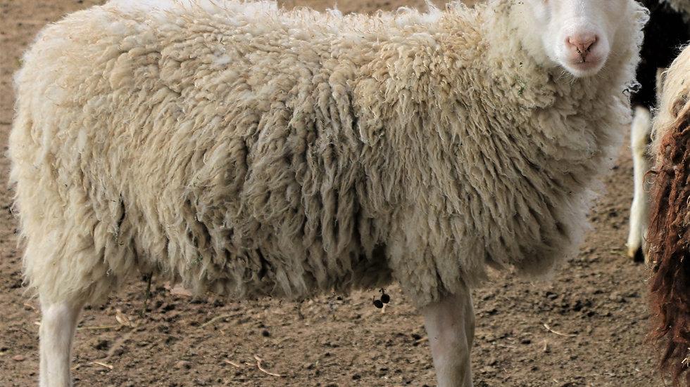 3L 20-696 RR triplet white ewe.  Single by King Arthur QR
