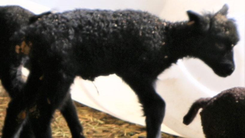 3L 21-810 Quad Black Ram.  Dam: 18-232. Sire: Black Panther RR