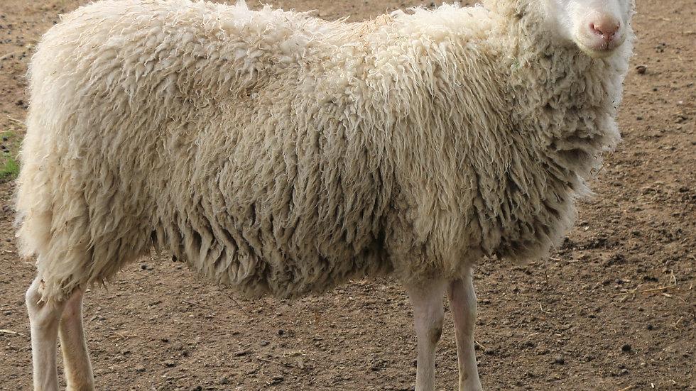 3L 20-562  QR Twin white ewe. Single by King Arthur QR