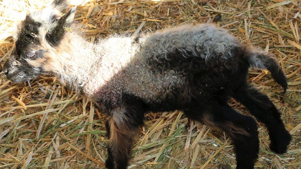 3L 21-909 Triplet Badger ram. Dam: 17-963 QR. Sire: Azari RR