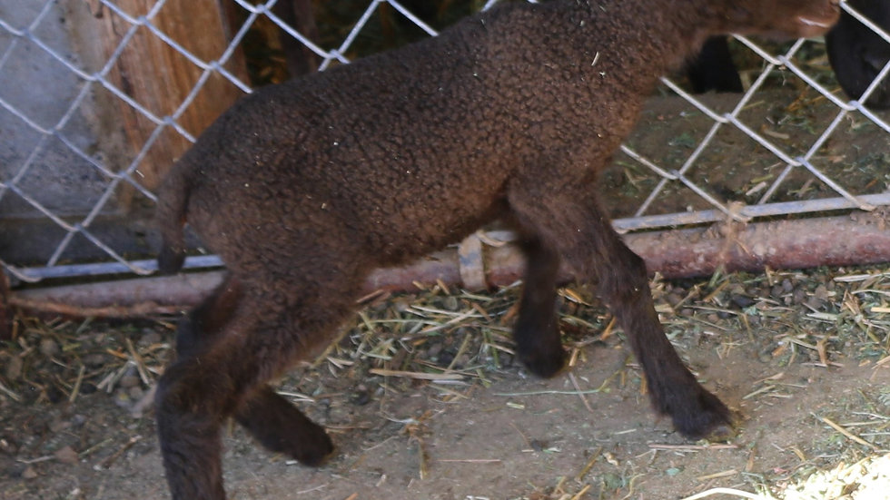 3L 20-554 Triplet Brown Ewe.  Dam: 18-232. Sire: Black Panther RR