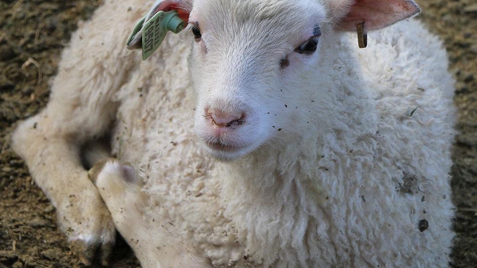 3L 19-507 Single white ewe. Dam: 18-226. Sire: Thor RR