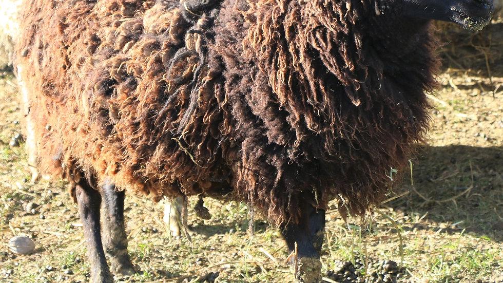 3L 18-072 Quad Black Ewe.