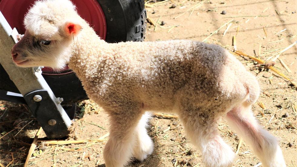 3L 20-594 Triplet White ewe. Dam: 18-088. Sire: Thor RR