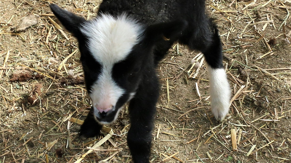 3L 21-814 Quad Black ewe. Dam: 16-715 QR. Sire: Big Papa QR