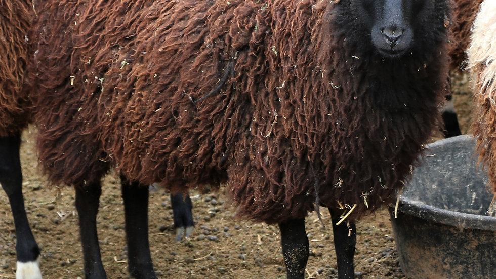 3L 20-661RR Triplet Black ewe.