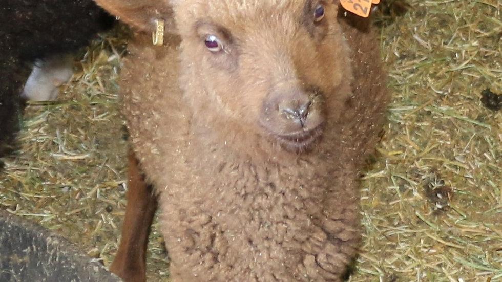 3L 21-957 Twin brown ewe. Dam: 19-451. Sire: Duke