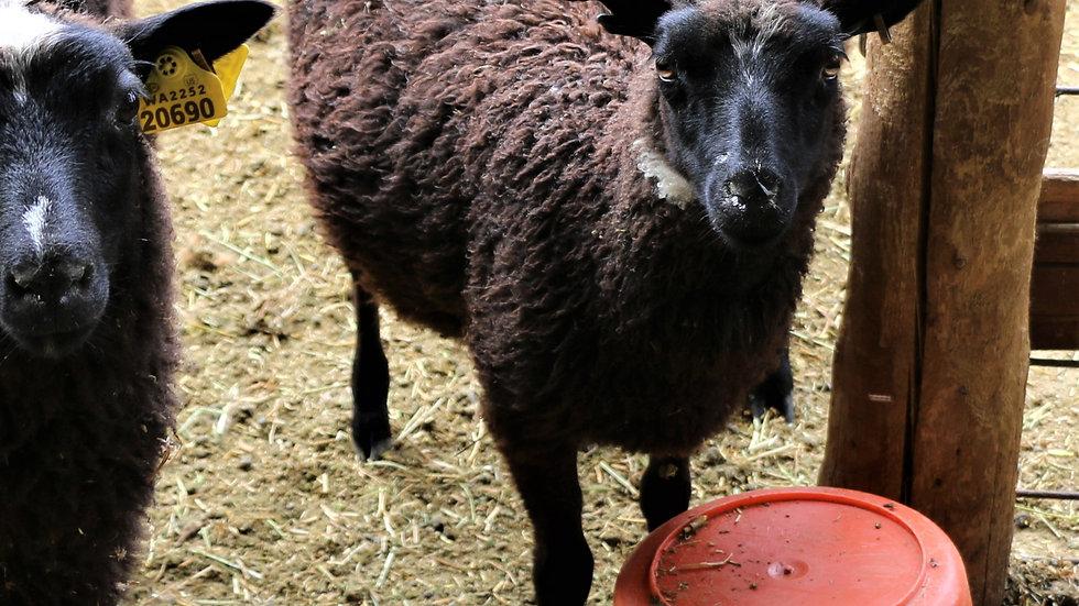 3L 20-601 triplet black ewe. Dam: 17-958. Sire: Diablo