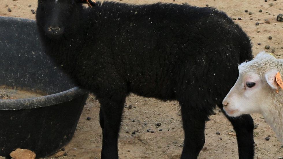 3L 21-891 Quad Black Ewe. Dam: 11-243. Sire: Shadow QR