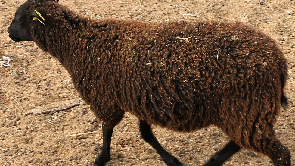 3L 20-637 Quint black ewe. Dam: 12-174. Sire: Diablo