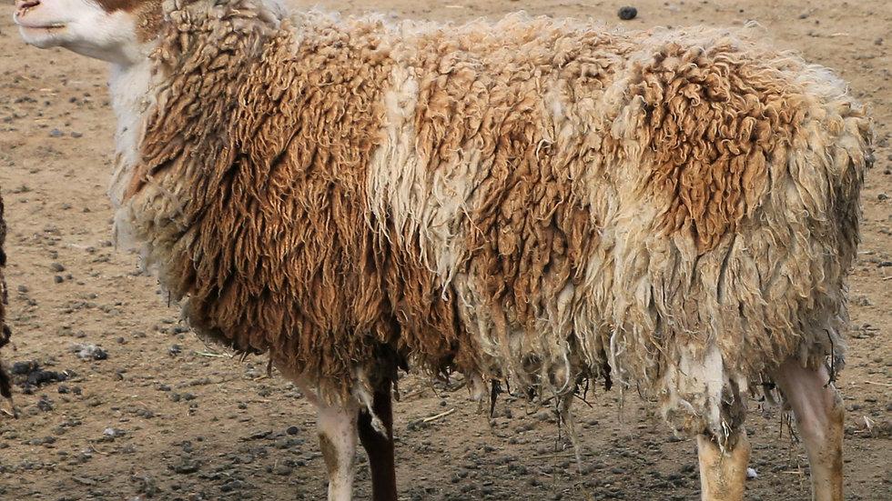 Tarzan - Triplet Brown Pied Ram. 3L 19-459