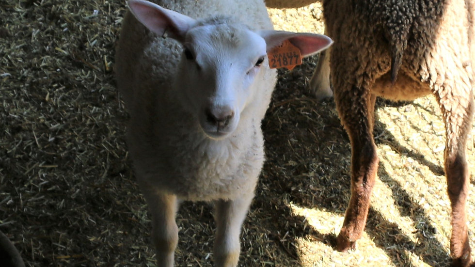 3L 21-877 Twin white ewe. Dam: 19-360 RR.  sire: Lucky One
