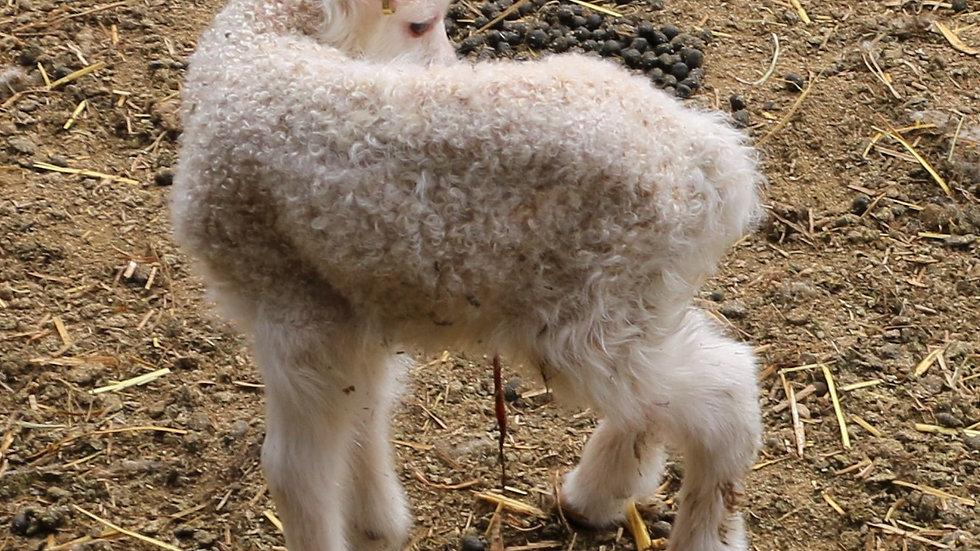 3L 21-965 Twin white ewe. Dam: 18-270 RR. Sire: Thor RR