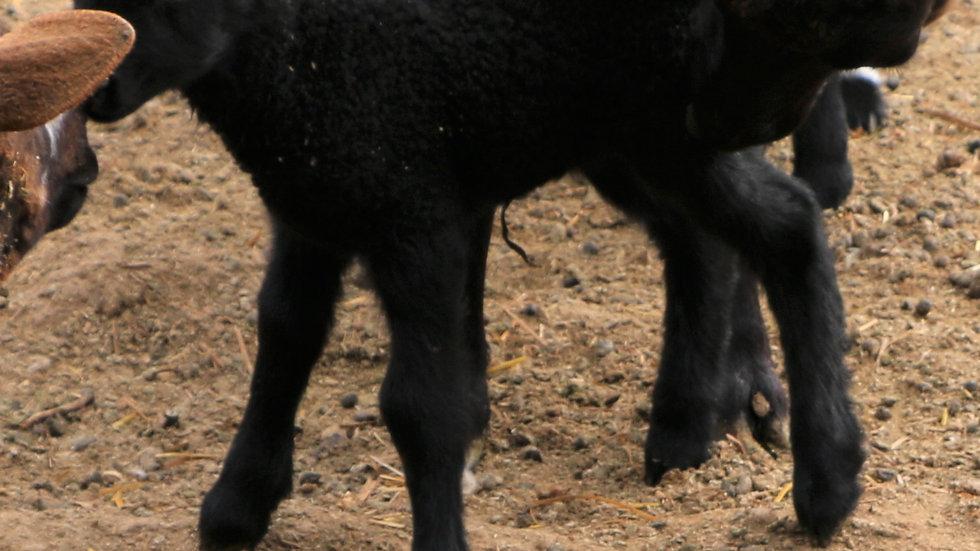 3L 21-994 Twin Black ewe. Dam: 17-012 QR. Sire: Beretta QR