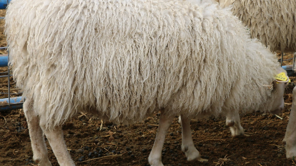3L 20-629 Quint white ewe. Bred to King Arthur QR