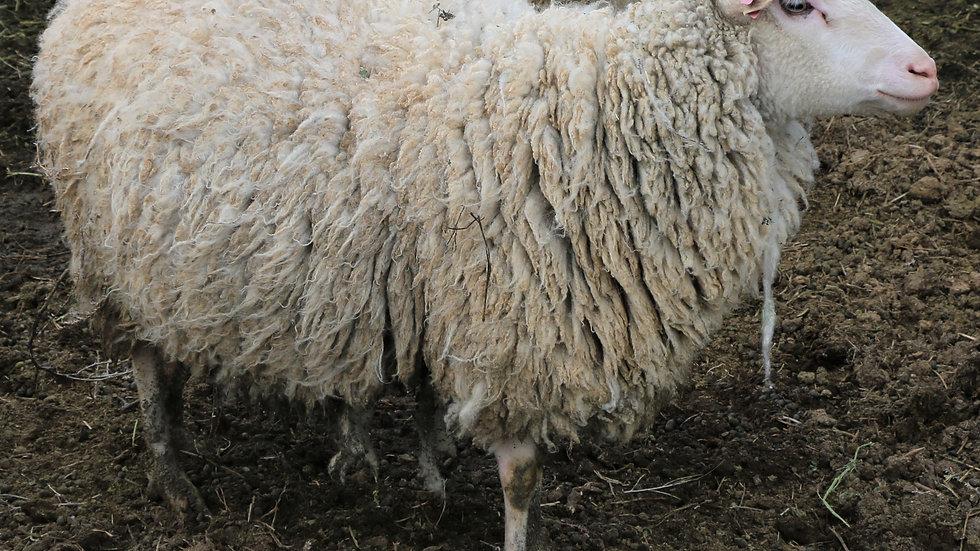 3L 15-521 Dasani. White Quad. 380% lifetime lambing.  Quads by Thor RR