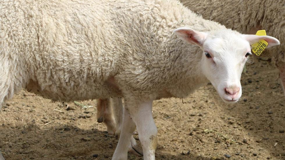 3L 20-678 White single ewe. dam: 18-139 QR. Sire: Thor RR