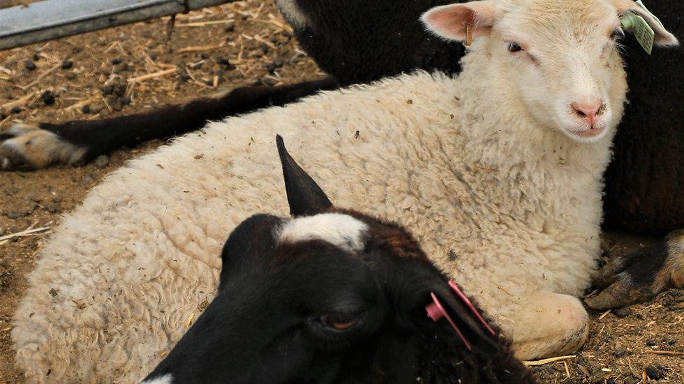 3L 19-501 Triplet white ewe. Dam: 9-62. Sire: Agent 007